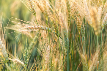 Ripe barley on the field on late summer afternoon