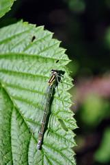 The Irish damselfly or crescent bluet (Coenagrion lunulatum) male sitting on green raspberry leaves top view close up detail, soft dark green blurry background