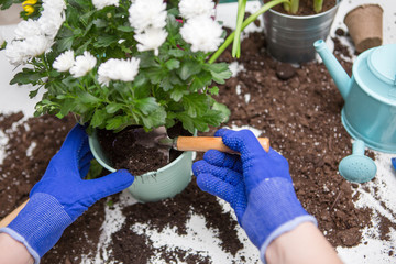 Picture on top of man's hands in blue gloves transplanting flower