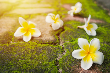 White Frangipani (Plumeria) flowers with green moss on the brick road in morning sun.