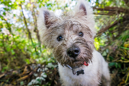 Dirty west highland terrier westie dog with muddy face outdoors in nature