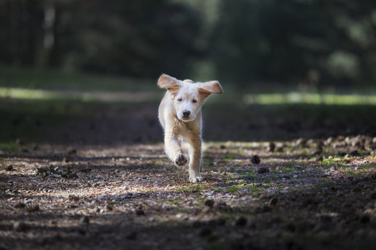 Curious breed golden retriever puppy running n park
