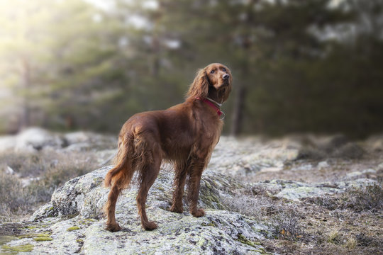 Irish setter standing on a rock in a park