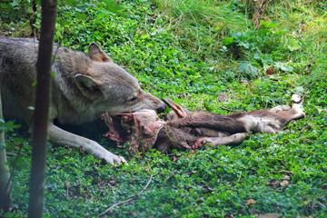 Wolf mit Beute