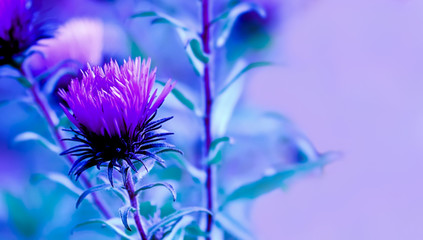 Art photo of Carduus crispus plant with purple flower close-up on natural blurred background.Pink milk thistle flower in bloom in summer day