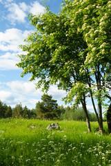 Rowan trees in bloom in the meadow.