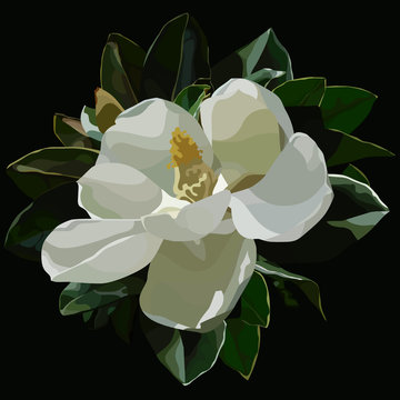 painted large blossomed white magnolia flower on a black background