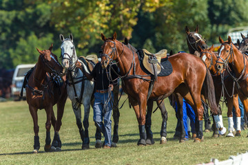 Horses Saddled Grouped Together Polo Game
