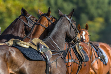 Horses Saddled Grouped Together Polo Game