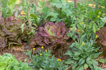Au potager bio - culture des salades