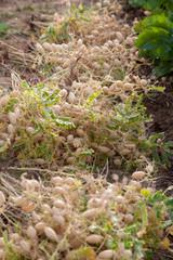 Potager bio - récolte de pois-chiches