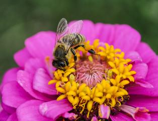 Flower with bee in the summer garden