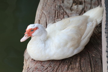Mother duck with white on a wooden floor that is above the water surface