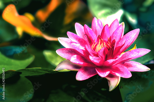 Pink Lotus Flower In Pond With Blurred Background Of Green Lotus
