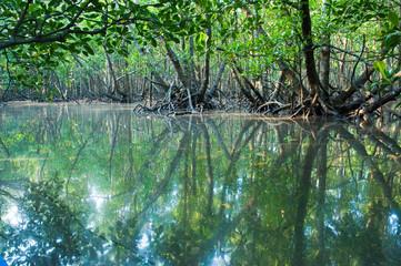 石垣島のマングローブ林