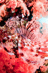 Red lionfish with coral