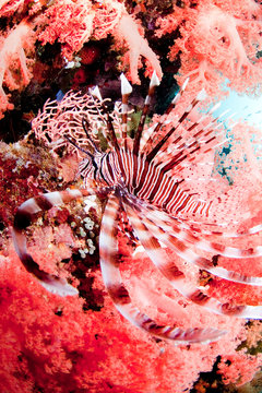 Lionfish swimming in ocean