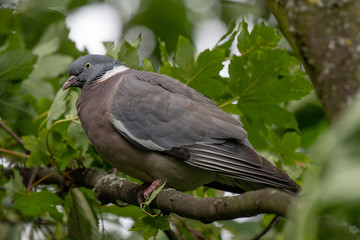 Wood pigeon (Columba palumbus) perched on tree branch between green leaves