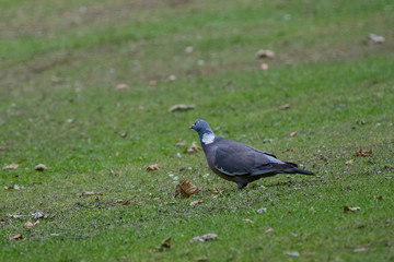 Common Wood Pigeon(Columba palumbus) in the grass in summer.