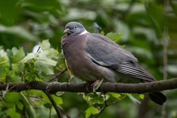 Common Wood Pigeon(Columba palumbus) on tree branch