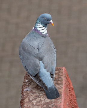 Common Wood Pigeon(Columba palumbus) on a brick