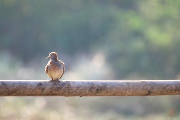 Mourning dove Bird, Turtle dove Bird, Rock dove, Rock pigeon