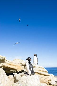 フォークランドのイワトビペンギンの群れ