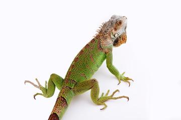 iguana on white background