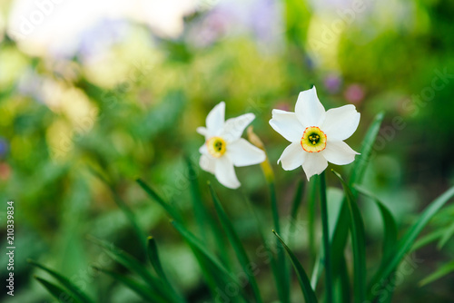 Two Beautiful White Flowers Of Narcissus With Yellow Center On Green