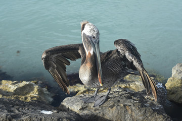 Beautiful photo of a water fowl on the coast of aruba