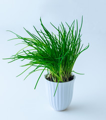 Chives in the flower pot