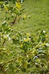 wild holly bush