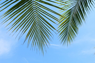 coconut palm leaf close up, coconut leaf background, palm leaf on sky background