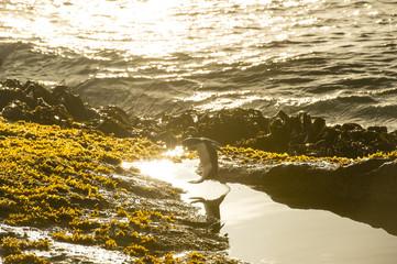 フォークランド のイワトビペンギン