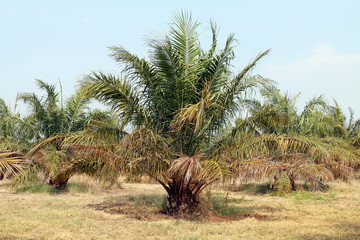palm, oil tree palm garden, palm plantation