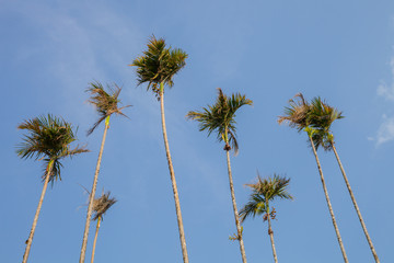 Betel nut tree with clear sky background