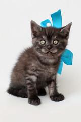 gray  kitten Scottish straight on white background