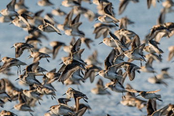 Large group of flying Sandpipers