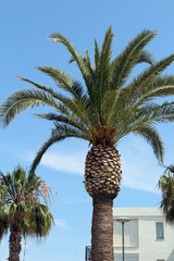 Palm tree in La Pineda, Salou, Spain