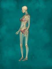 Female Skeleton, 3D Human Model