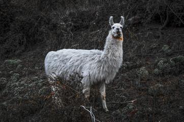 Fauna patagonica