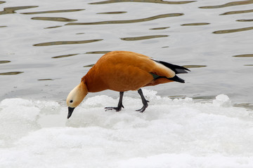 The ruddy shelduck (Tadorna ferruginea) walking on snow near the water in winter