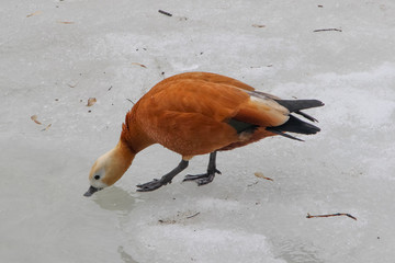 The ruddy shelduck (Tadorna ferruginea) standing on melting ice and drinking water in winter