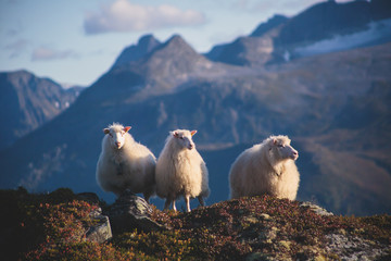 A flock of sheep pasturing and walking in the mountains of Northern Norway, Lofoten Islands