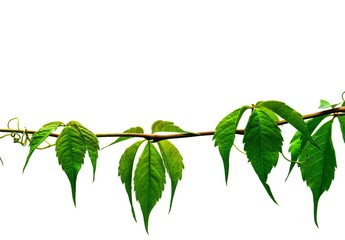 A Virginia creeper vine drapes across a background image isolated on white with space for text