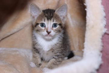 BROWN AND WHITE TABBY KITTEN