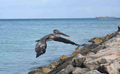 Large pelican preparing to land on a jetty in aruba