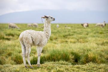 A single white baby llama in the Altiplano