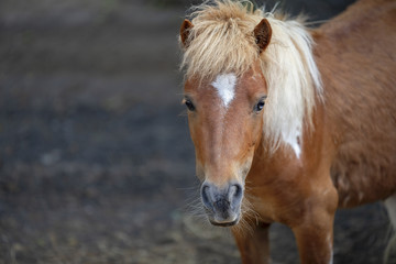 close up photograph of a shetland pony