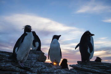 Crested penguins on rocks at sunset